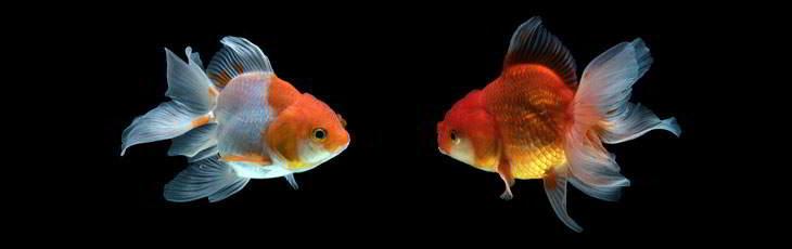 Two beautiful fancy goldfish