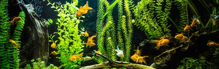 Large goldfish tank