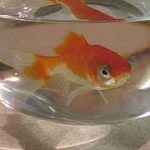 Fish in tiny goldfish bowl