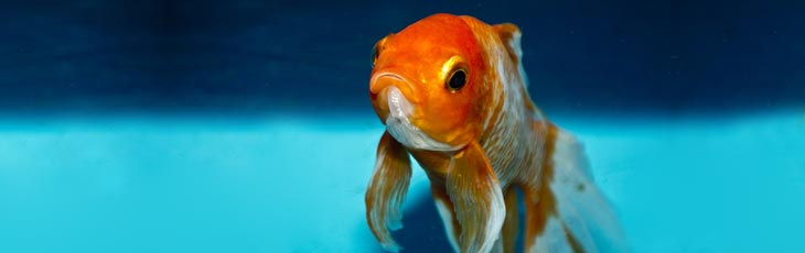Unhappy goldfish with clamped fins