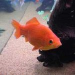 Common goldfish with orange color