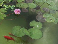 Goldfish in pond with lillies