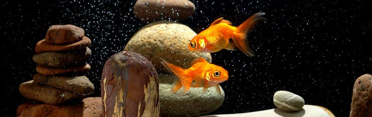 Two goldfish in well oxygenated tank