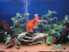 Goldfish in tank with air column