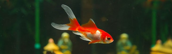 Young goldfish with red and white colors