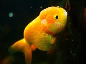 Beautiful orange goldfish