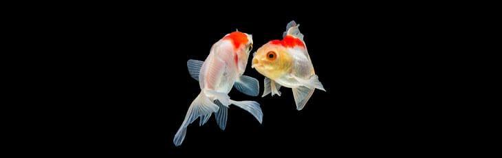 Breeding goldfish