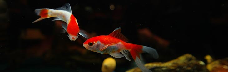 Two red and white goldfish - Colors in goldfish