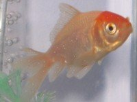 Golfish with white spot disease (ich)