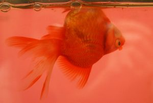 Upside-down goldfish with swim bladder issues (fish belly up)