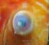 Cloudy eye on fish