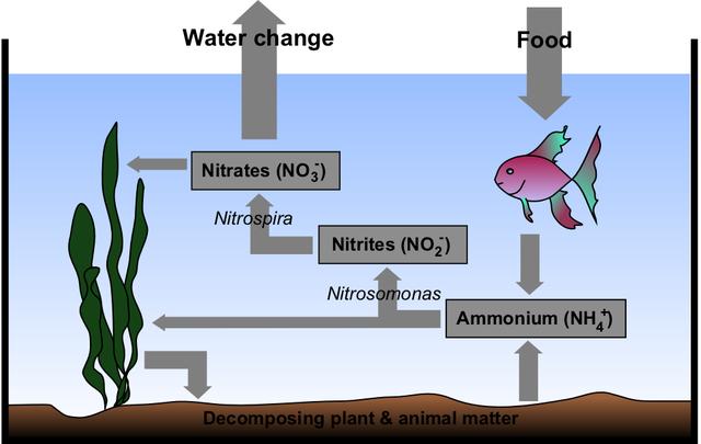 Aquarium Nitrogen Cycle (aquarium filtration basics)