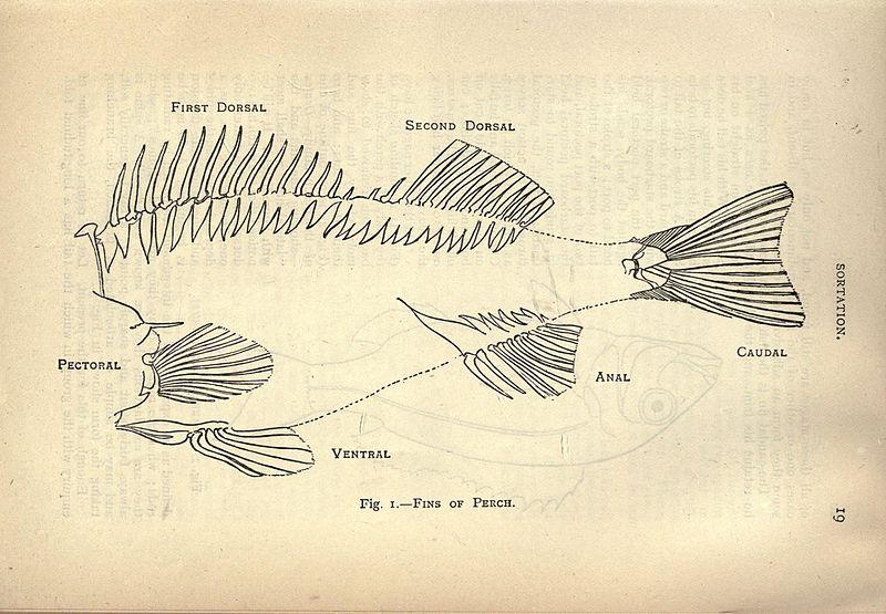 Illustration of fish gills names